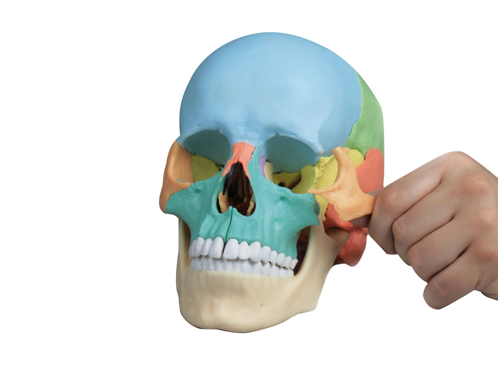 Osteopathie Schädelmodell, 22-teilig, didaktische Ausführung