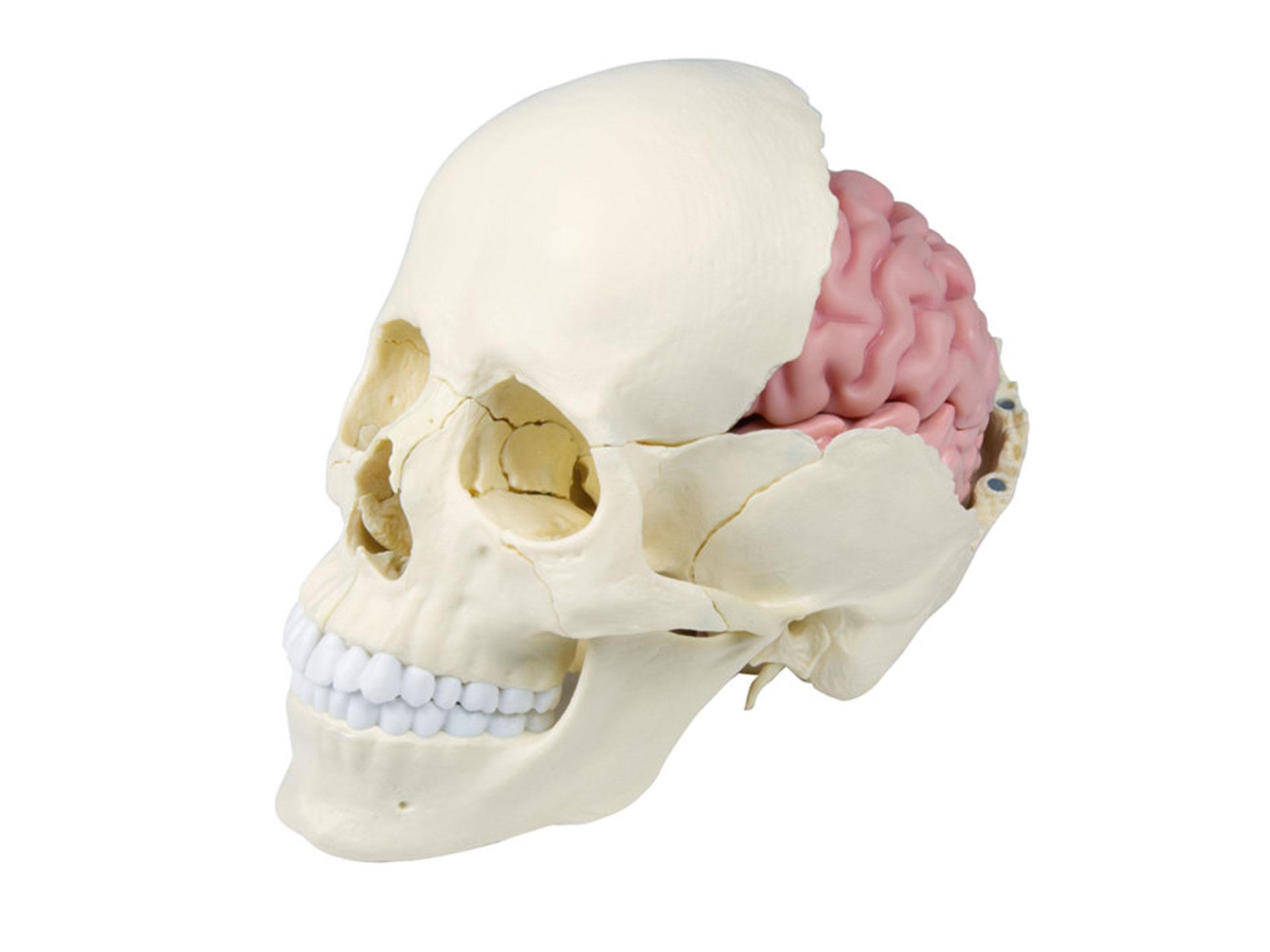 Osteopathie Schädelmodell, 22-teilig, anatomische Ausführung
